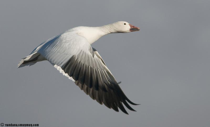 Snow goose in flight, at Bosque Del Apache NWR, Nov 2008