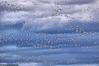 snow geese in flight,At Bosque Del Apache NWR, Nov 2008  snow goose