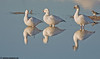 Snow geese, at Bosque Del Apache NWR, Nov 2008