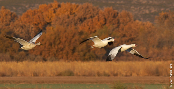 Snow Geese arriving at Bosque del Apache WR
