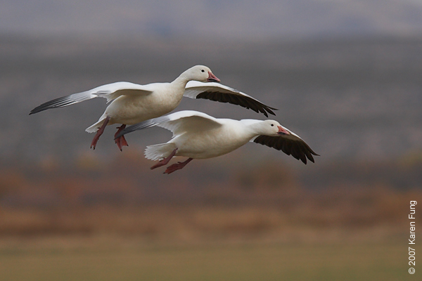 Snow Geese at Bosque del Apache WR