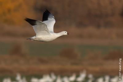 Ross's Goose at Bosque del Apache WR
