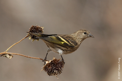 Pine Siskin in San Antonio, NM