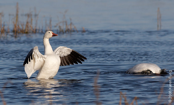 A pair of Snow Geese frolicking in the main pond.