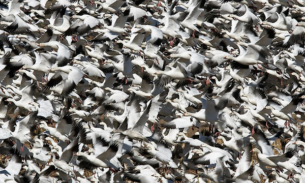 """""""Escheresque"""". Snow Geese blast-off in the cornfields at Bosque del Apache.  The Visitors Center reported 55,000 """"light geese"""" (mostly Snows) at the Refuge the week I was there.  Some folks have called this my """"Where's Waldo?"""" image because there's a Ross's Goose mixed in with the flock.  See if you can spot it."""