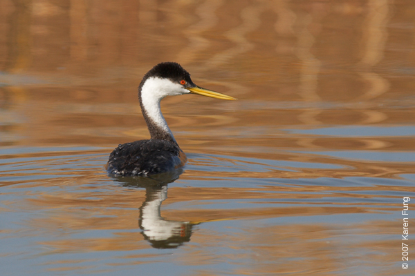 Western Grebe and reflecting reeds at Bosque del Apache WR
