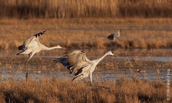 Sandhill Cranes (adult and juvenile) at sunset