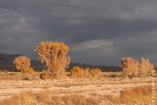 Cottonwood trees in early morning light