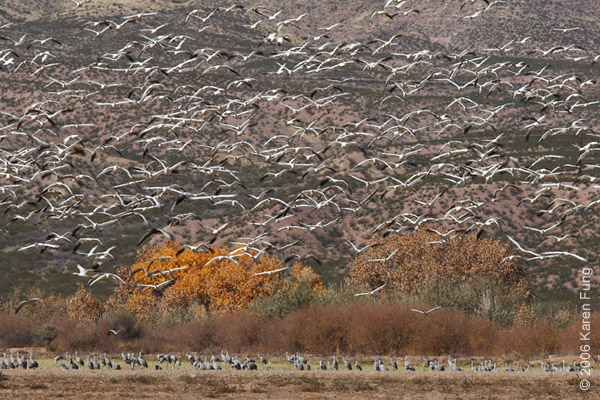 Snow Geese and Sandhill Cranes along the Farm Loop