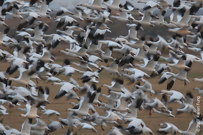 Pre-dawn flight of Snow Geese and Ross's Geese at Bosque del Apache WR