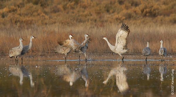 Sandhill Cranes at Bosque del Apache