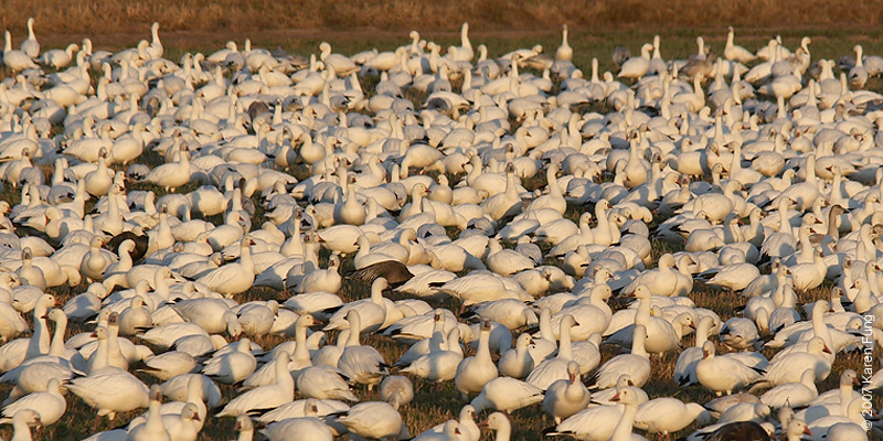Snow  and Ross's Geese in early morning light at Bosque del Apache WR