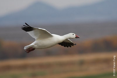 Snow Goose at Bosque del Apache WR