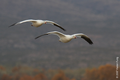 Snow Geese in flight at Bosque del Apache WR