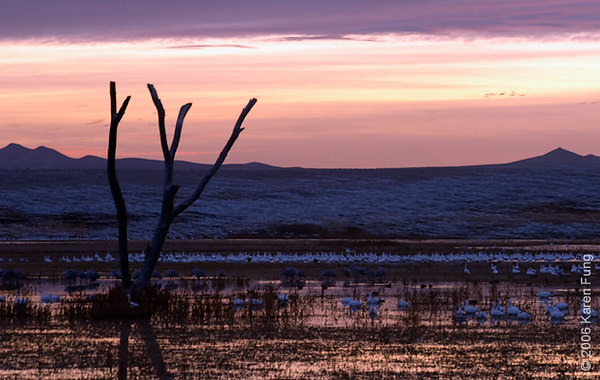 Snow Geese Blast-off at Dawn