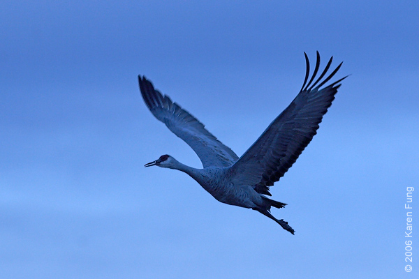 Another Sandhill Crane flight shot at dusk, with the color temperature changed.