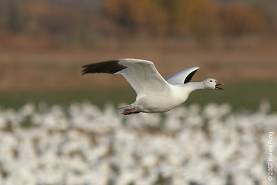 Snow Goose calling at Bosque del Apache WR