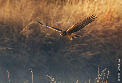 Juvenile Northern Harrier at Bosque del Apache WR