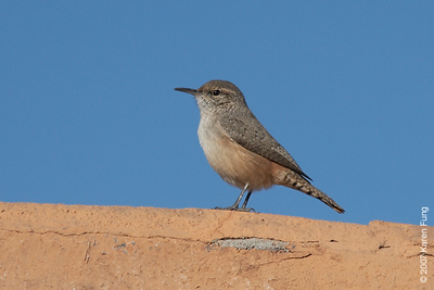 Rock Wren at Bosque del Apache WR