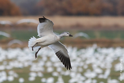 Snow Goose landing at Bosque del Apache WR