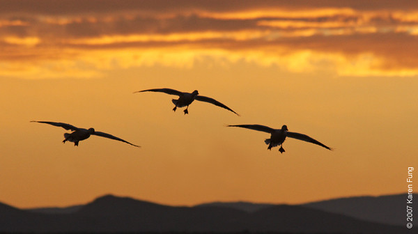 Snow Geese landing at Dawn at Bosque del Apache Wildlife Refuge