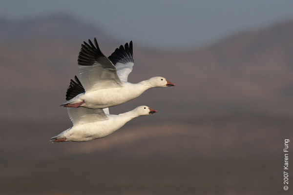 Snow Geese taking flight at Bosque del Apache WR