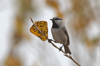 Mountain Chickadee in San Antonio, NM