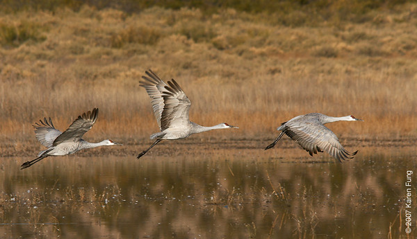 Sandhill Cranes taking flight at Bosque del Apache WR