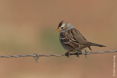 Juvenile White-crowned Sparrow in San Antonio, NM