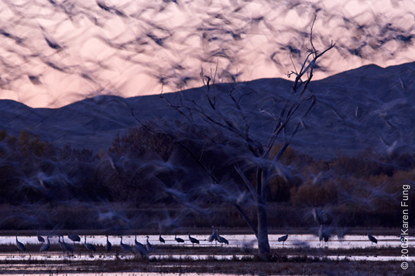 A flurry of Snow Geese at Dawn.  Taken at Bosque del Apache NWR.
