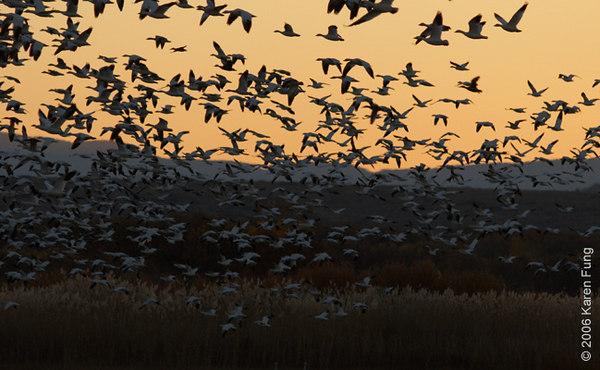 Snow Geese Blast-off at Dawn