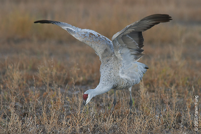 Sandhill Crane at Bosque del Apache WR