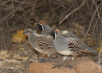 Gambel's Quail at Bosque del Apache