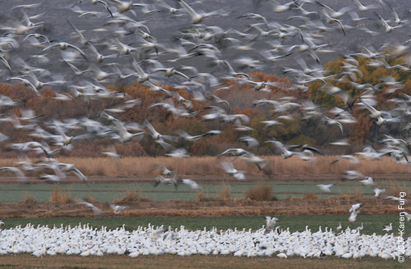 A flurry of geese at Bosque del Apache WR