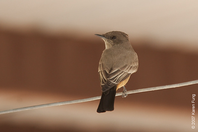 Say's Phoebe at Bosque del Apache WR
