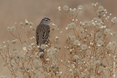 White-crowned Sparrow at Bosque del Apache WR