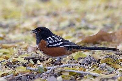 Spotted Towhee at Bosque del Apache WR