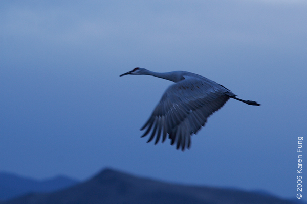 Sandhill Crane at Dusk.  Shot in Raw mode, changed color temp to 4000 in Capture One.