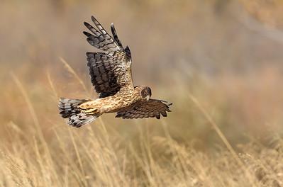 Northern Harrier 9
