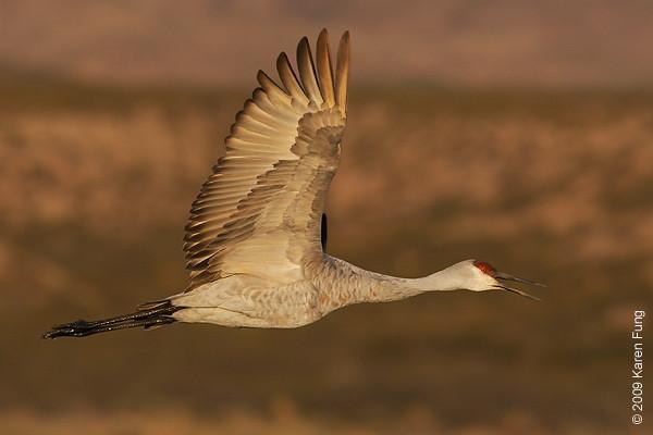 Nov 16th:  Sandhill Crane calling at dawn