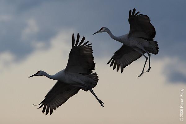 Nov 14th:  Sandhill Cranes at dusk