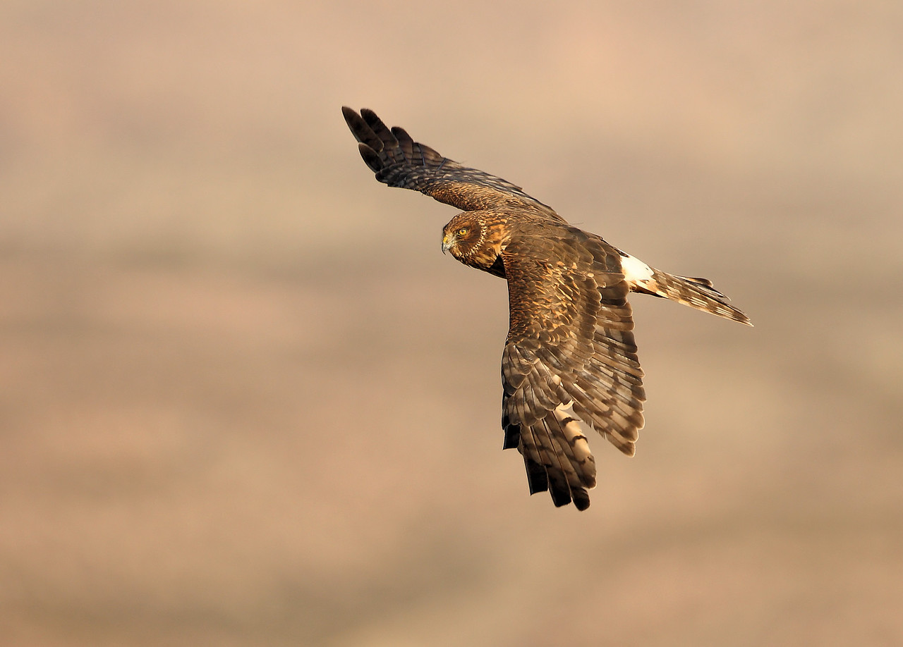 Northern Harrier 3