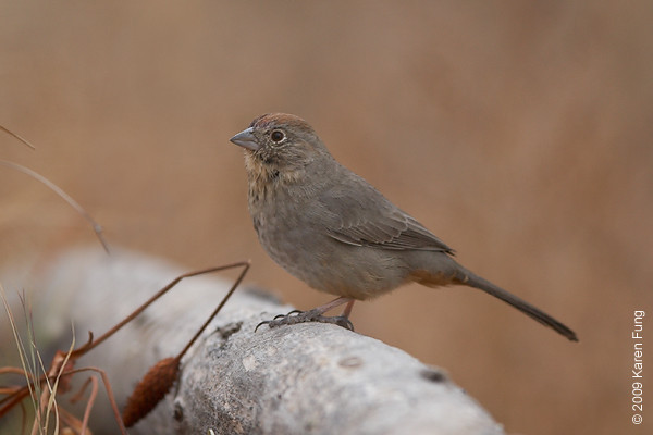 Nov 12th:  Canyon Towhee in the Cactus Garden