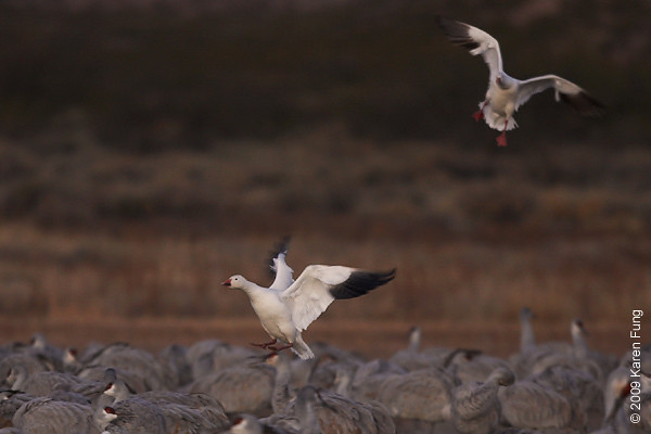 Nov 16th:  Snow Geese joining the Sandhill Cranes at dawn