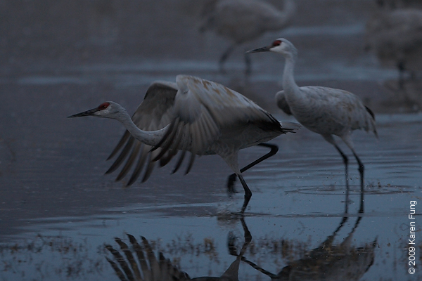 Nov 12th, 6:43am: Sandhill Cranes taking off before dawn (cropped)