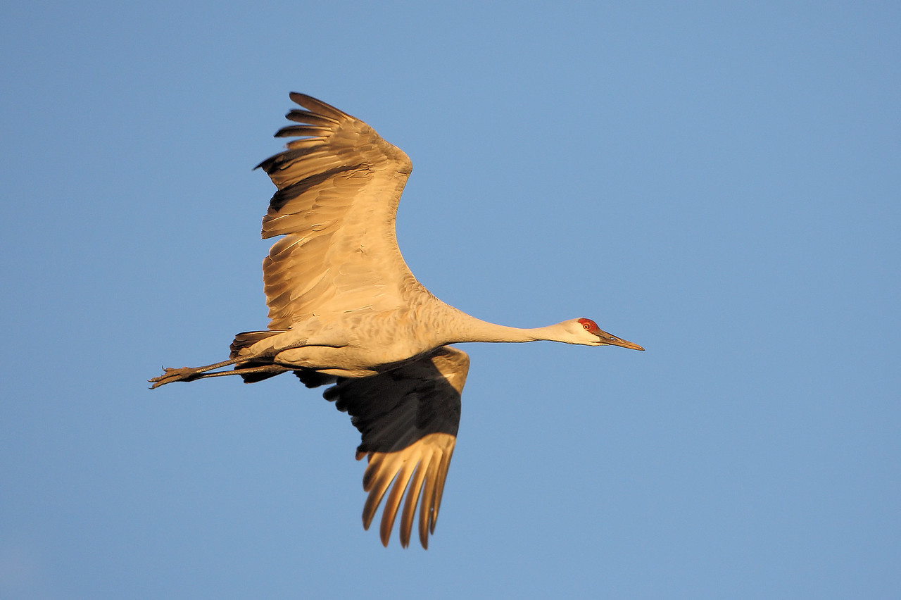Sandhill Cranes 9