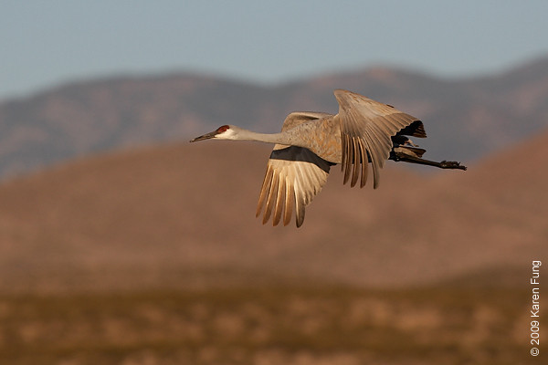 Nov 16th:  Sandhill Crane shortly after dawn