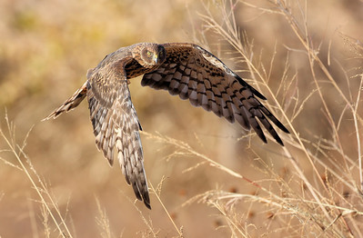 Northern Harrier 11