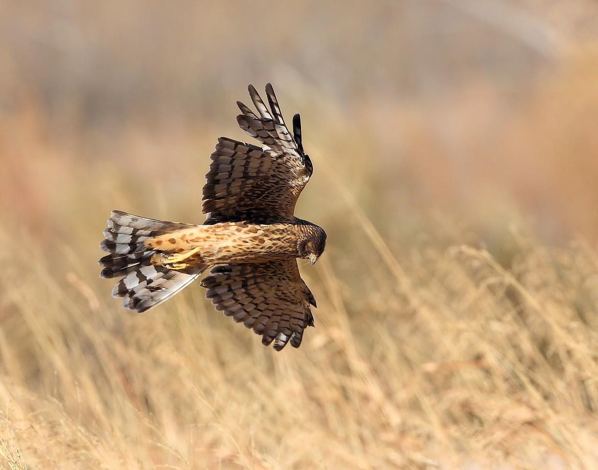 Northern Harrier 4