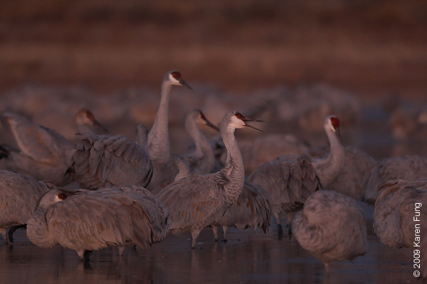 Nov 16th:  Sandhill Cranes at daybreak